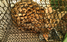Bẫy chuột, dính mèo rừng châu Phi quý hiếm