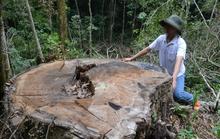 Khởi tố vụ tàn phá quần thể du sam, thu giữ 100m3 gỗ