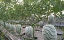 Dưa lưới trồng ồ ạt vẫn không kịp bán