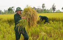 Công an, bộ đội, học sinh gặt lúa giúp dân chạy bão số 7