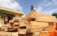 Khởi tố vụ phá rừng pơ mu trên trăm tuổi