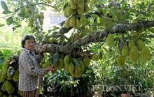 Đẹp mê hồn những vườn cây trĩu quả ở ĐBSCL