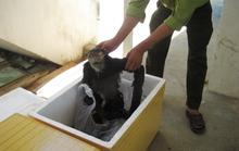 Phát hiện 9 con voọc chà vá chân đen bị nứt sọ, sấy khô