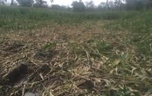 Đàn voi rừng 20 con bất ngờ kéo về tàn phá buôn làng