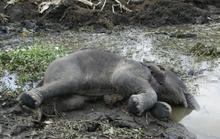 Liên tiếp phát hiện xác voi rừng