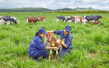 Vinamilk sắp có sữa tươi organic chất lượng cao cấp