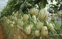 Nông dân Đà Lạt làm giàu từ rau củ độc lạ