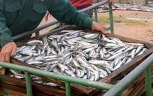 Đề nghị tiêu hủy cá nục nhiễm chất độc Phenol là vội vàng