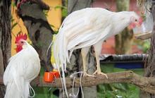 Trào lưu kinh doanh gà độc, lạ cho năm Đinh Dậu