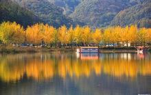 Cây ngân hạnh nhuộm vàng mùa thu Hàn Quốc