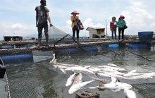 Tìm cách hỗ trợ người dân nuôi cá bị chết ở Vũng Tàu