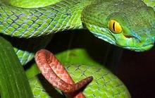 Bất an vì rắn độc