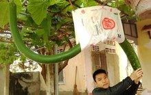 Đổ xô đi xem quả bầu khổng lồ dài hơn 2 mét