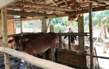 Quan xã tự ý thu tiền bò giống cấp miễn phí cho dân