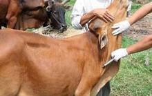 Trưởng thôn bị cán bộ thú y bơm thuốc tiêm phòng trâu bò vào người