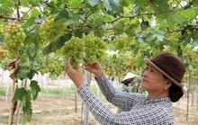 Nho Ninh Thuận hút hàng nhưng giá không tăng
