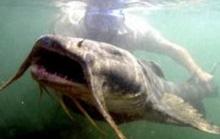 Săn cá khủng ở sông Đà chỉ còn là truyền thuyết?