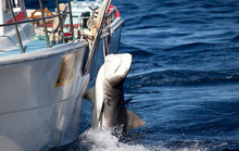 Úc tranh cãi chuyện giết cá mập để bảo vệ người dân