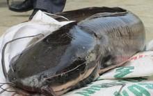 Cá trê thủy quái trên 10 kg/con: Nhìn đã thấy sợ, nói chi ăn