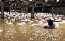 Gom 4.000 con lợn chết do mưa lũ đi tiêu hủy