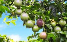 Quy mô trái cây của HAGL lớn đến mức nào?