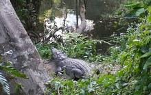 Trả giá đắt vì tạo dáng chụp ảnh tự sướng với cá sấu