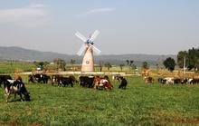 Khám phá trang trại bò sữa 3 không đầu tiên ở Việt Nam