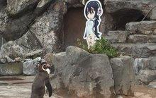 Nhật khóc thương chim cánh cụt tương tư người tình hoạt hình qua đời