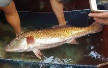 Trả 550 triệu đồng nhưng chưa bán cá lạ, nghi cá sủ vàng