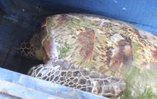 Đổ xô đi xem cụ rùa màu vàng dài 1 m mắc lưới ngư dân