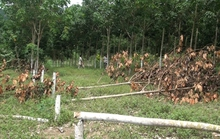Tá hỏa khi phát hiện hơn 300 cây cao su bị chặt phá