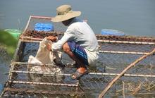 Cá nuôi trên sông Bồ chết hàng loạt, người dân trắng tay