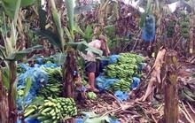 Thanh niên Đồng Nai 'giải cứu' chuối giúp nông dân