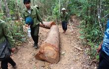 Lâm tặc cướp gỗ giữa ban ngày