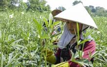 Dân vùng biên An Giang chuyển sang trồng đậu bắp Nhật