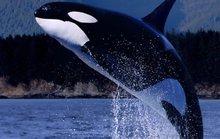 Cá voi sát thủ già nhất thế giới đã qua đời?