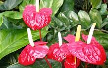 Hoa hồng môn có chất độc rất nguy hiểm