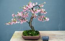 Gợi ý những chậu bonsai hoa siêu đẹp chơi Tết 2018
