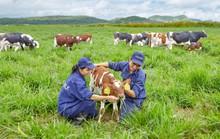Bò organic ở trang trại như ở… khách sạn!