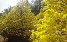 Chiêm ngưỡng vườn mai vàng tiền tỷ ngày xuân