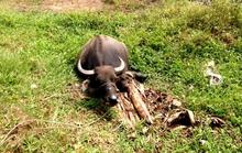 Tàn ác cắt đứt gân chân 9 con trâu mới mua của 1 gia đình