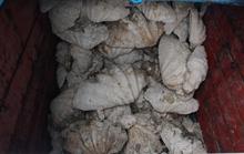 Bắt giữ tàu cá vận chuyển số lượng khủng vỏ sò tai tượng