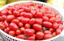 Trồng cà chua bi sạch bán cho khách du lịch miền Tây