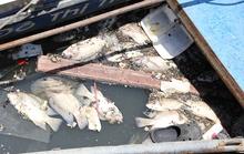 Cá chết trên kênh Nhiêu Lộc sau cơn mưa bất thường