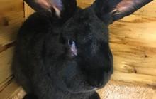Thỏ khổng lồ chết bí ẩn trên máy bay United Airlines