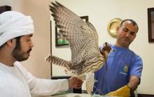Chăm chim ưng kiểu nhà giàu Ả Rập