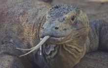 Lấy độc trị độc bằng máu rồng Komodo