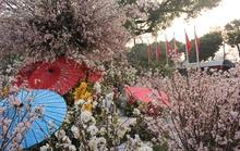 Hồ Gươm ngập sắc hoa anh đào Nhật Bản