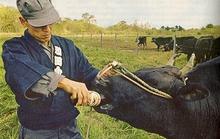 Loại thịt bò đắt hơn cả bò Kobe có mặt tại Sài Gòn