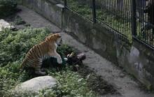 Hổ tấn công nhân viên sở thú trước mắt du khách